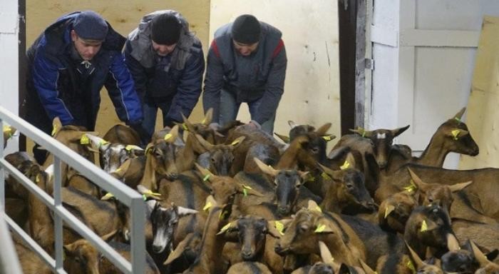 A thousand of French goats arrived to the Ural